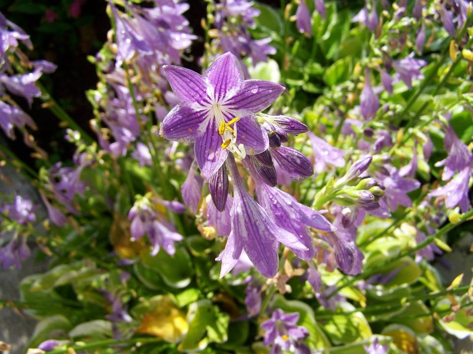 Shadow Lily, Purple Flower, Flower Garden