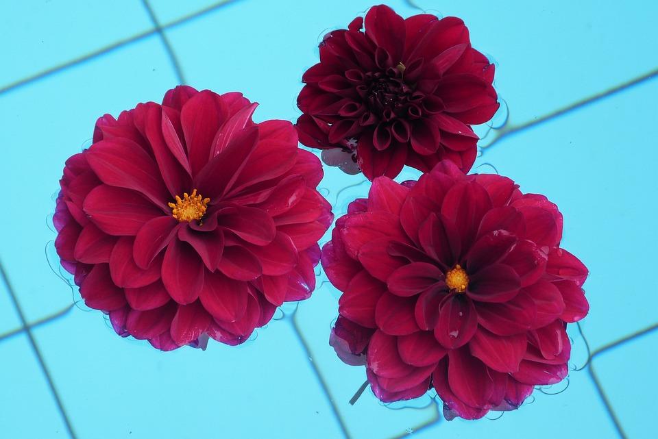 Flower, Dahlia, Red Flower, Red Dahlia, Nature, Garden