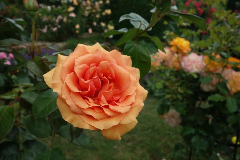 Rose, Garden, Plant, Flower Bed, Blossom, Bloom, Flower