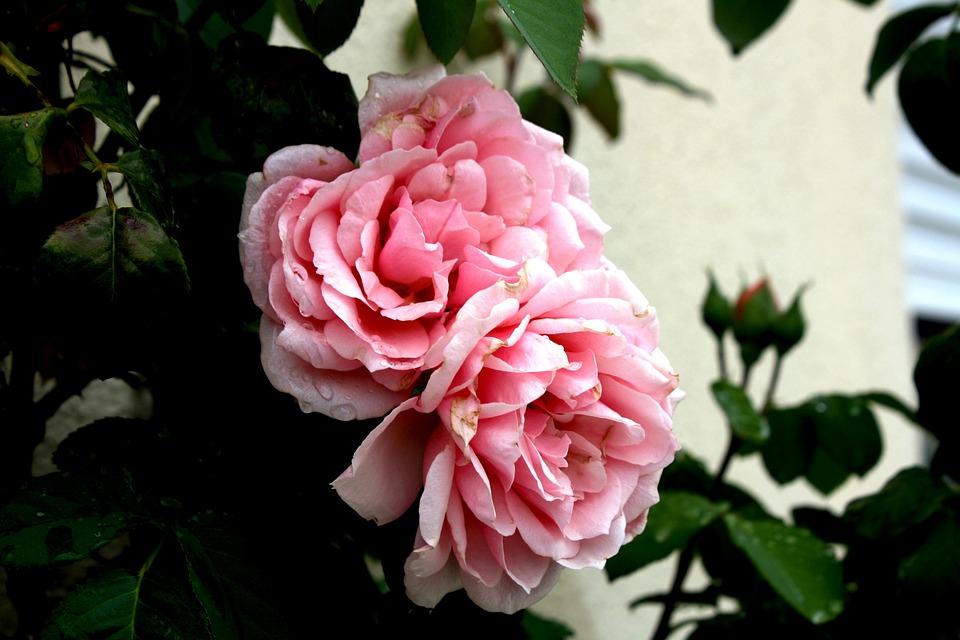 Roses, Garden, Flower, Rosebush
