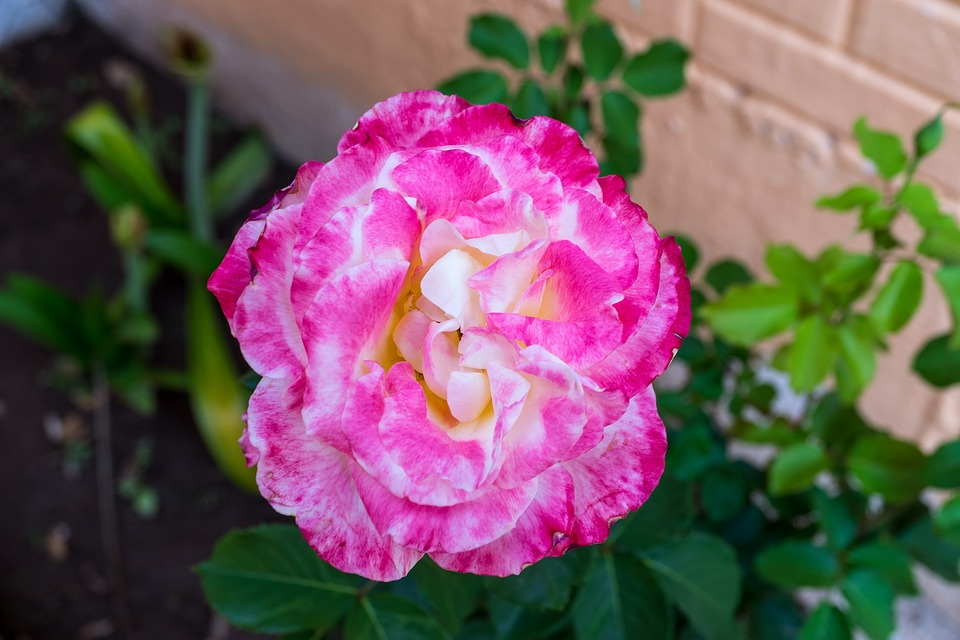 Flower, Flora, Nature, Leaf, Garden, Bright, Season