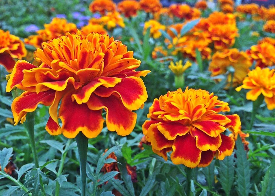 Marigold, Flower, Plant, Blossom, Garden, Spring