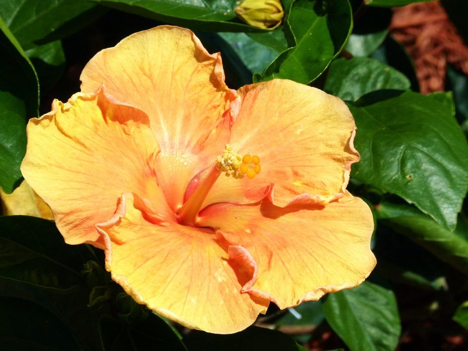 Yellow, Flower, Hibiscus, Tropical, Hawaii, Garden