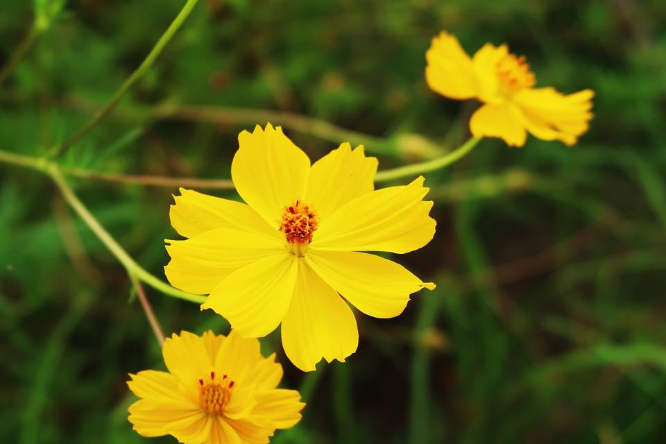 Free photo flower garden yellow cosmos cosmos max pixel cosmos yellow cosmos flower garden mightylinksfo