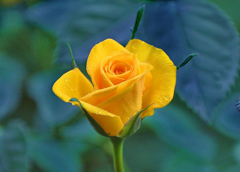 Yellow Roses, Yellow Flower, Vicky, Flower Garden