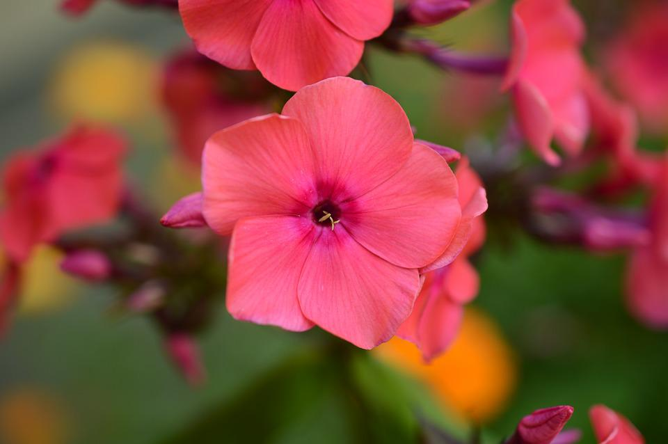 Geranium, Blossom, Pink, Flower, Summer, Nature
