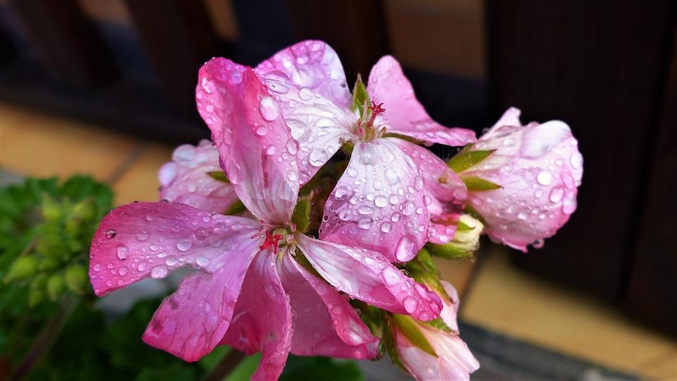 Flower, Plant, Nature, Garden, Summer, Geraniums