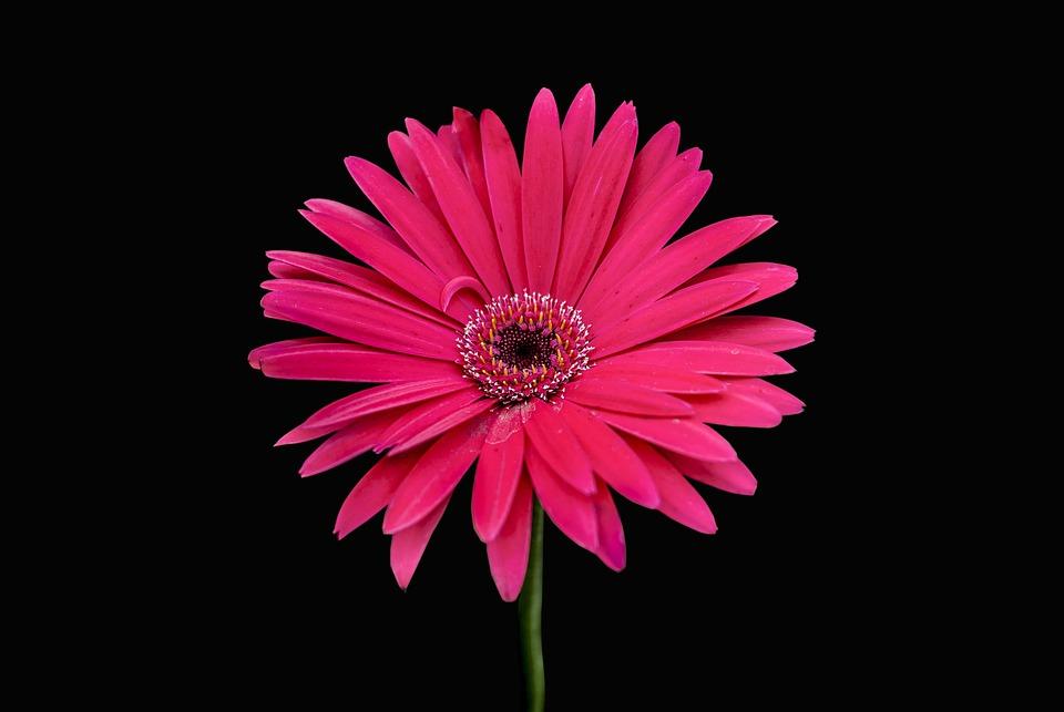 Flower Gérbel, Flowers, Nature, Beautiful, Petal