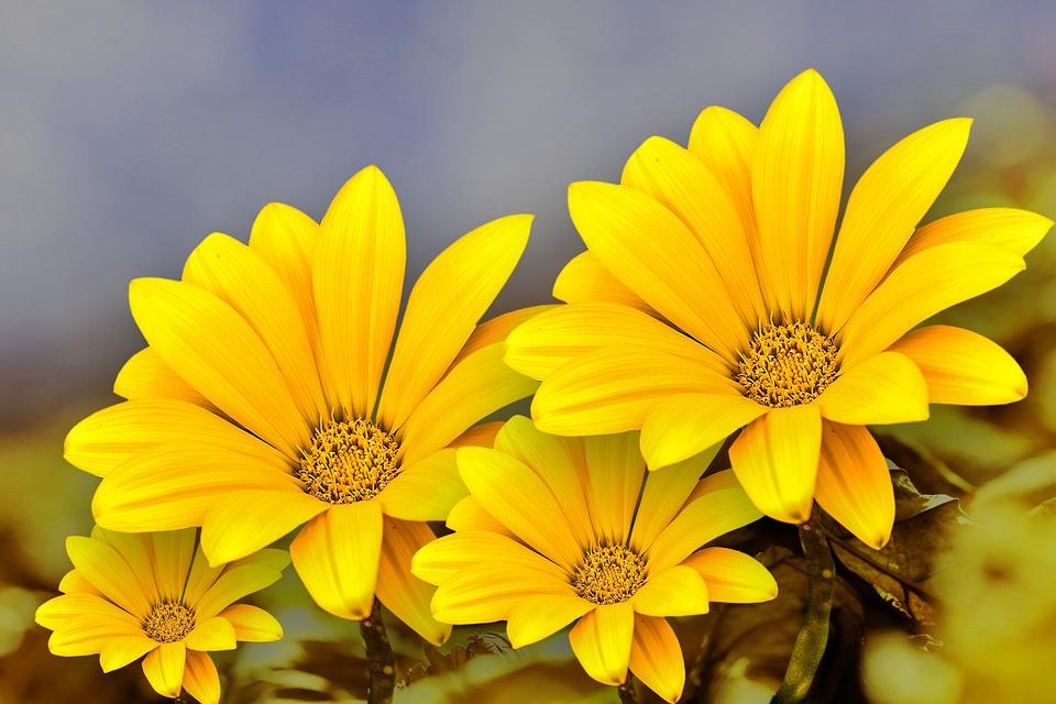 Flower Gérbel, Beautiful Flower, Beauty, Nature