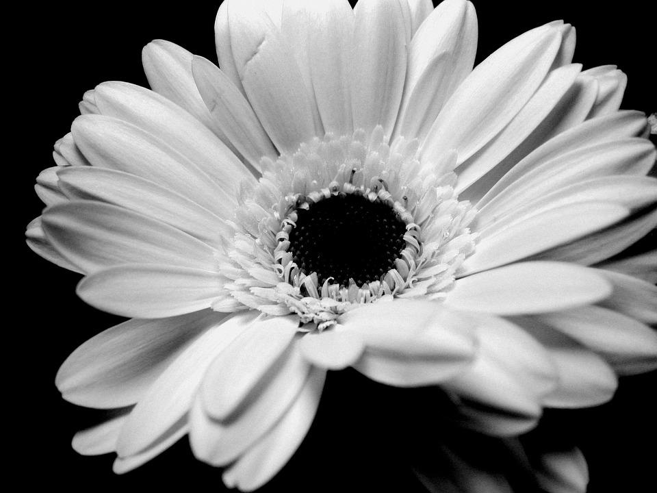 Gerbera, Black And White, Flower