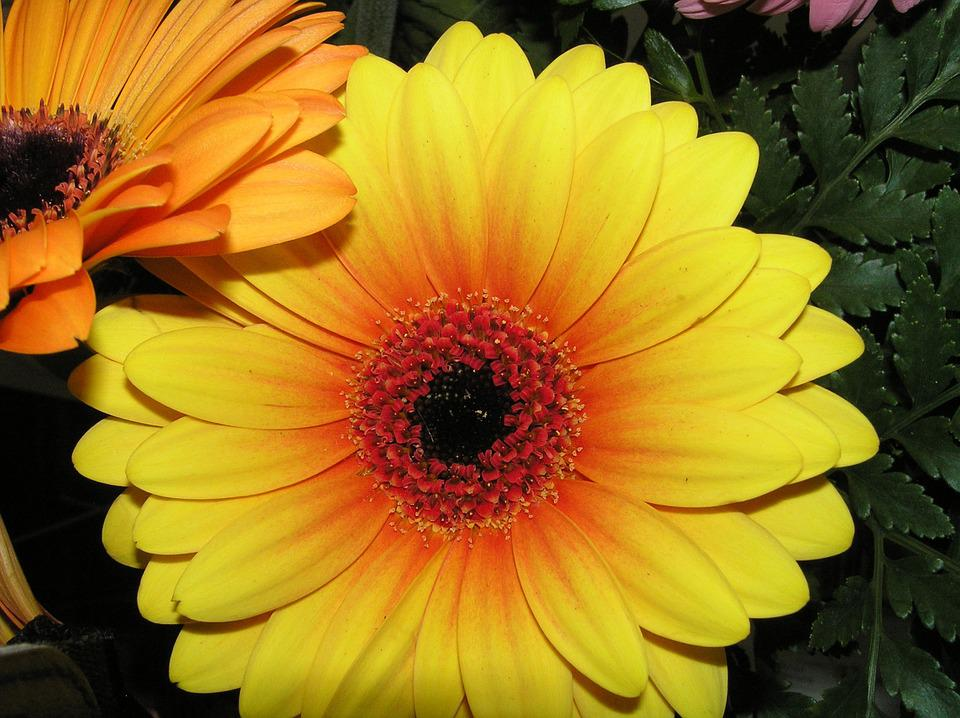 Flower, Gerbera, Daisy, Blooming