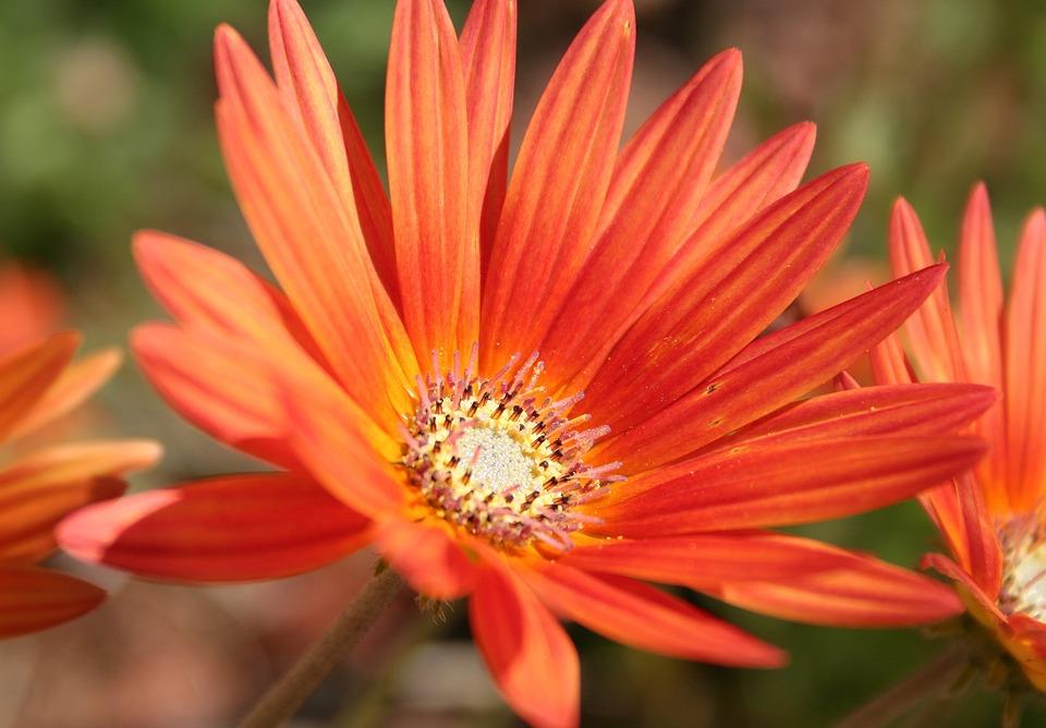 Gerbera, Flower, Orange Yellow, Close, Colorful, Nature