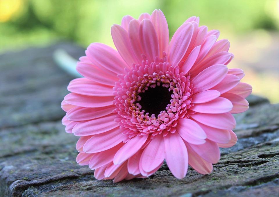 Gerbera Pink Flower Nature Tenderness Petal