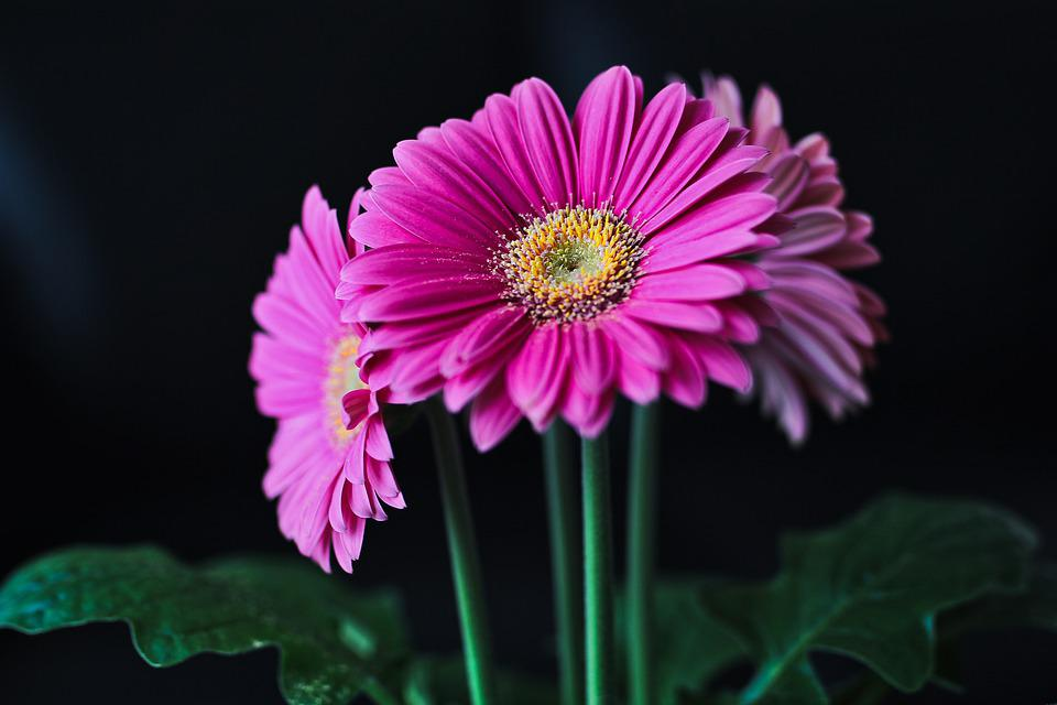 Gerbera, Flower, Cut Flowers, Flowers, Pink