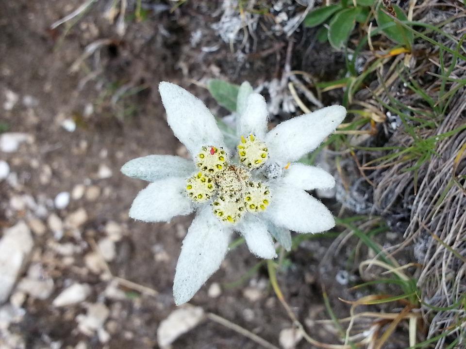 Edelweiss, Flower, Gnafalio, Dolomites