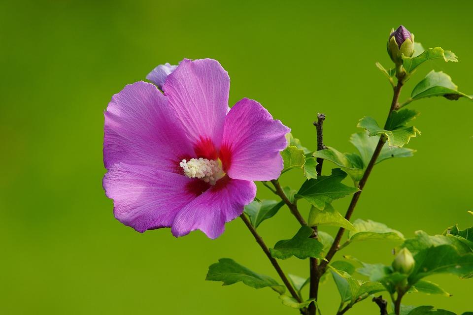 Mugunghwa, Butterfly, Flower, Insect, Nature, Grass
