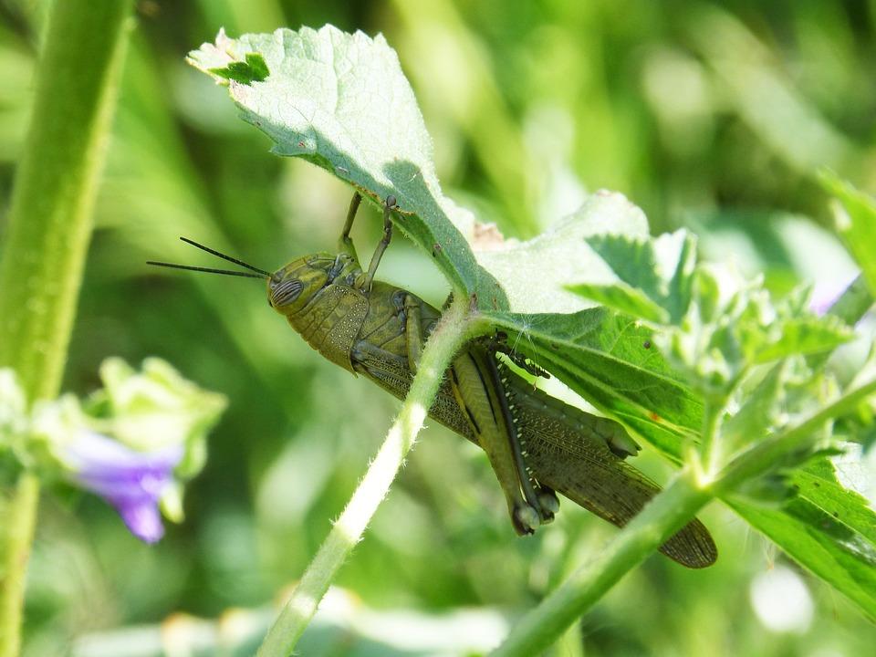 Grasshopper, Green, Detail, Flower, Arthropod