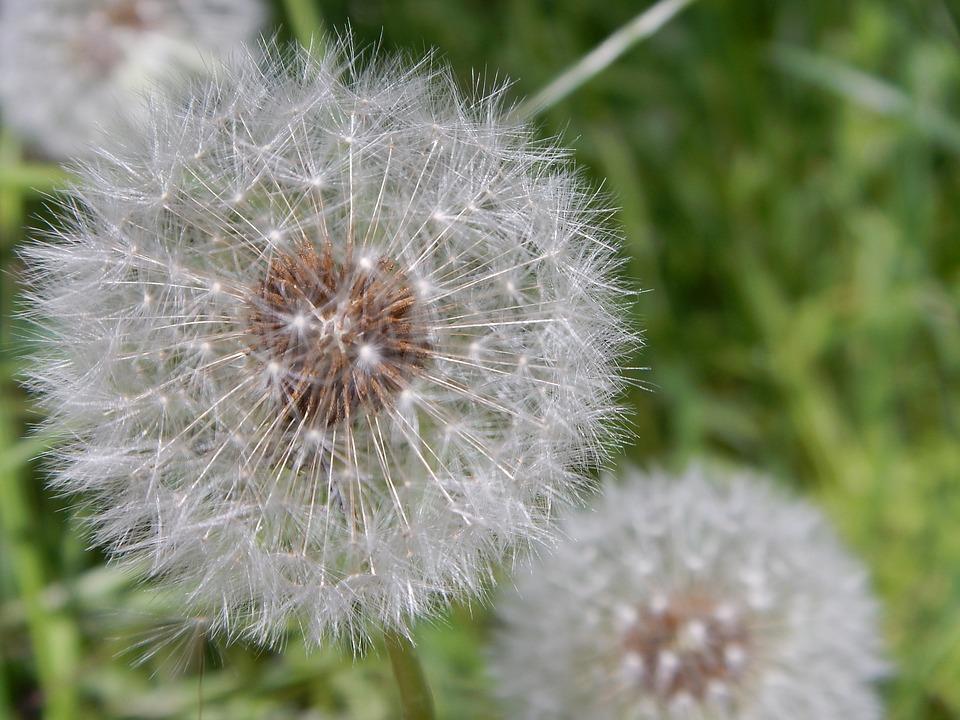 Dandelion, Blowball, Flower, Green