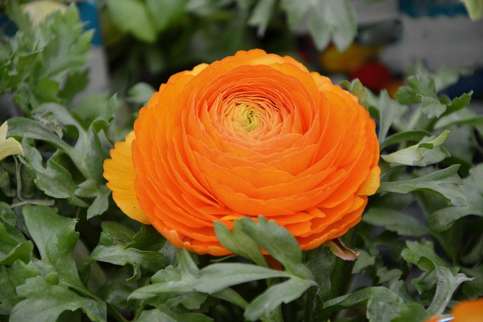Flower, Plant, Ranunculus Orange Color, Green Foliage