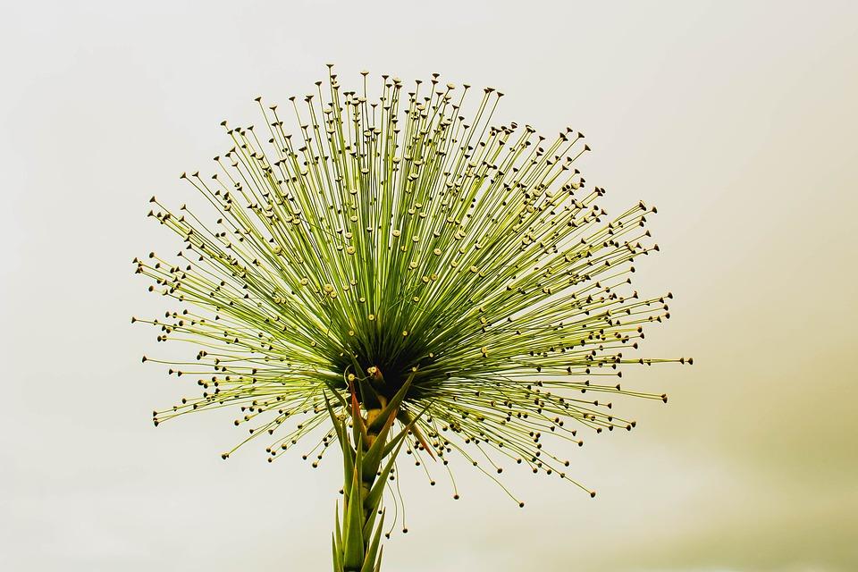 Flower, Green, Nature, Paepalanthus Bromelioides