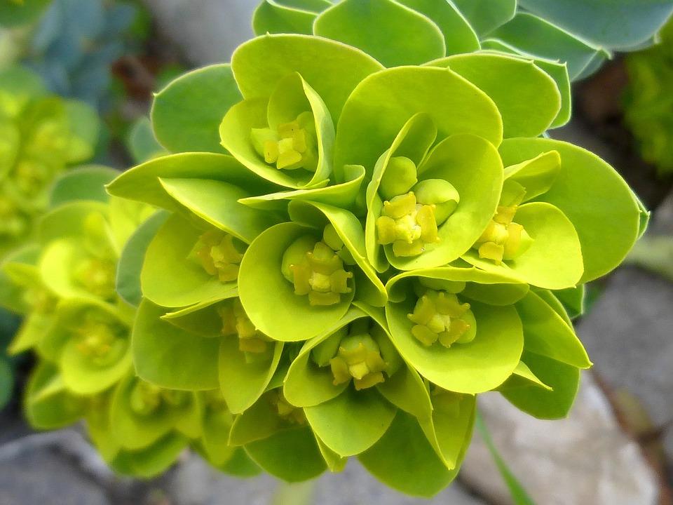 Spring, Flower, Green, Spurge