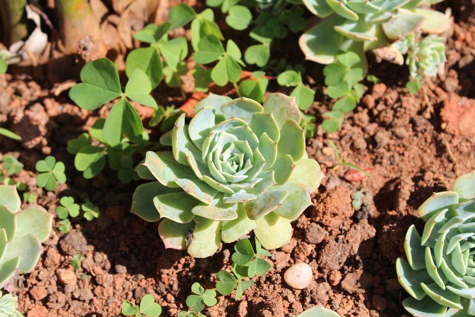Flower, Succulents, Green