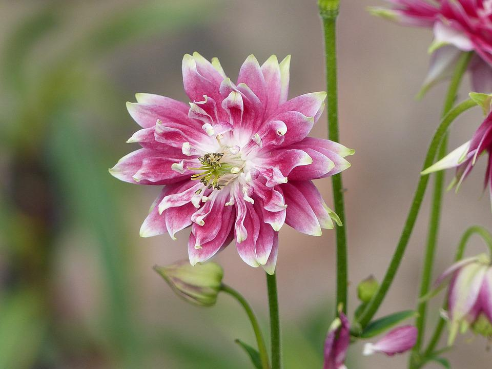 Columbine, Flower, Pink, White, Colors, Leaf, Green