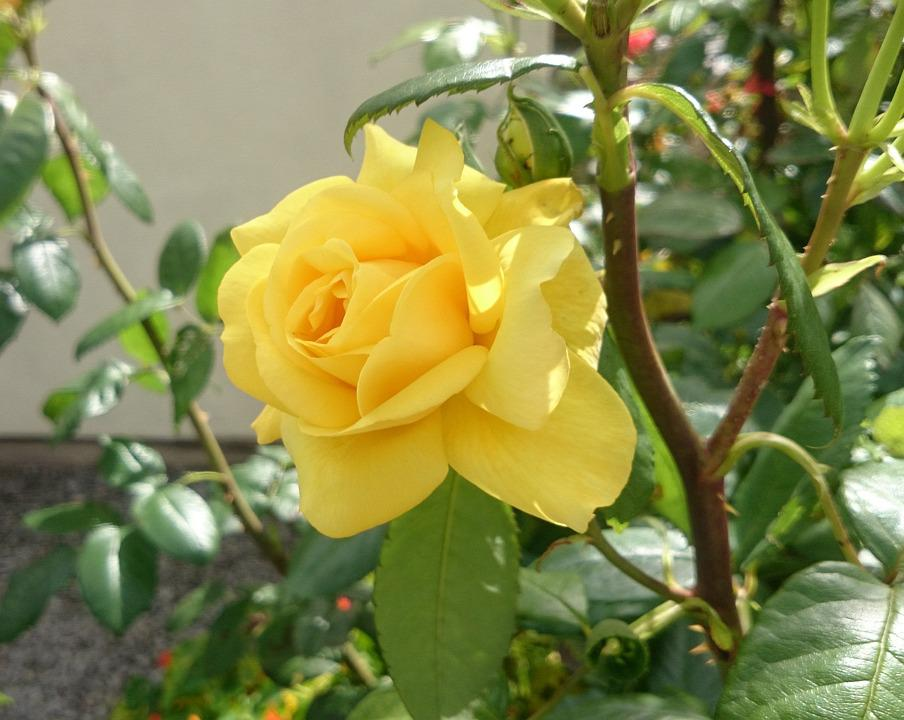 Flower, Rose, Floral, Petals, Yellow, Bright, Green