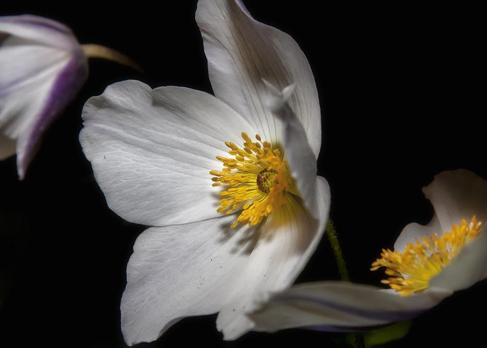 Flower, Plant, Blossom, Helleborus, Bloom, Hellebore
