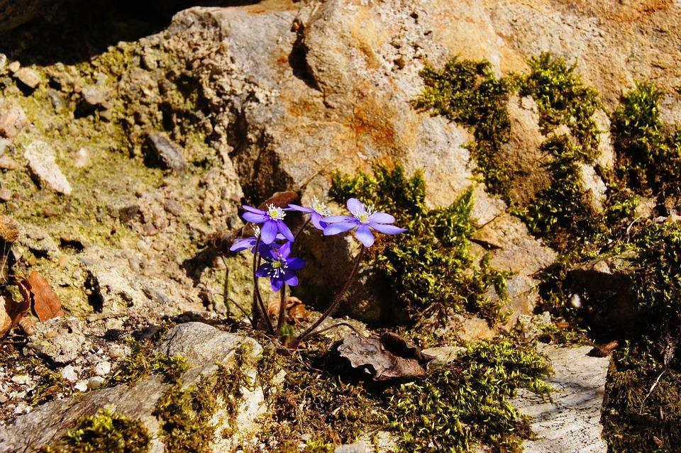 Hepatica, Spring, Purple, Blossom, Bloom, Flower