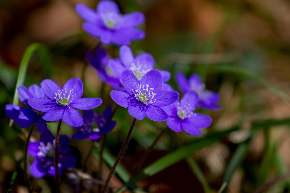 Flower, Hepatica, Nature, Plant, Forest Flower