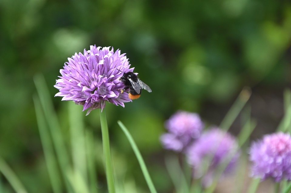 Flower, Chives, Bee, Herbs, Chive Flower, Garden