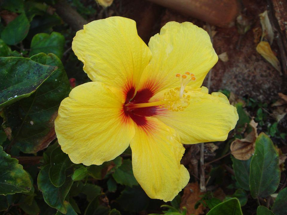 Flower, Hibiscus, Nature, Aloha