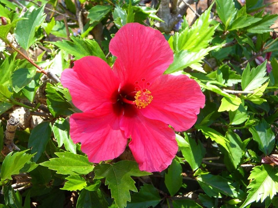 Hibiscus, Flower, Blossom, Bloom, Mallow, Malvaceae