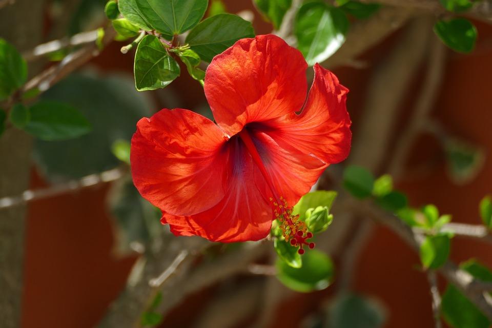 Hibiscus, Flower, Red, Nature, Garden, Summer