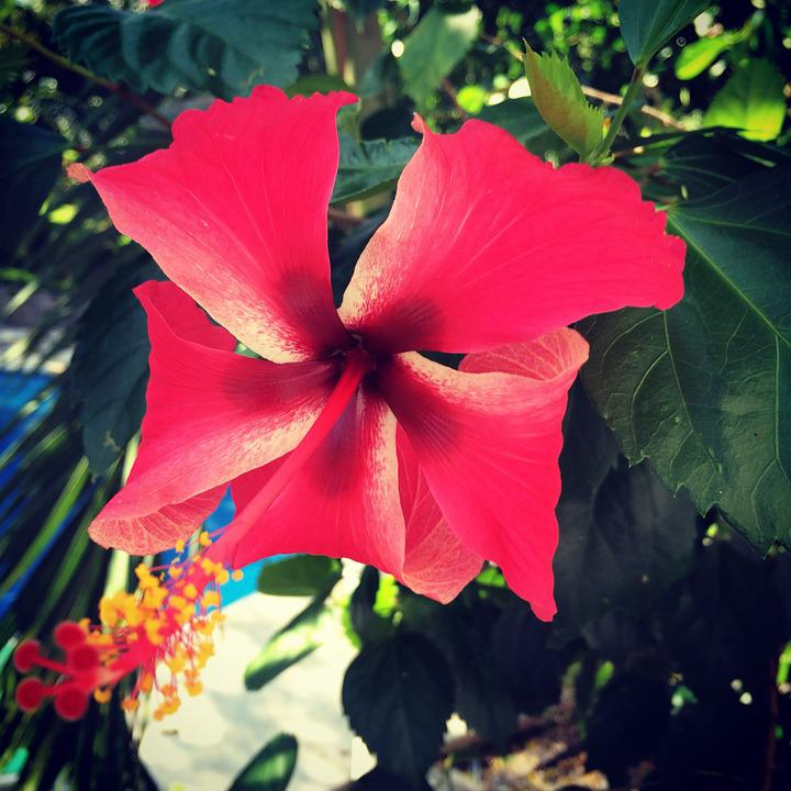 Hibiscus, Flower, Malvaceae, Tropical