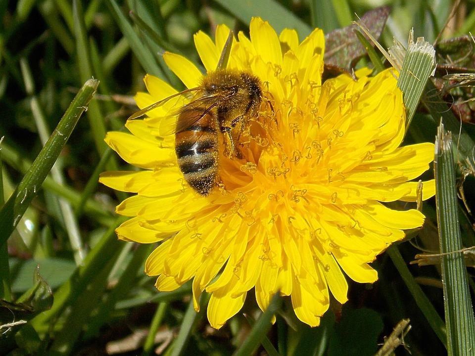 Honey Bee Dandelion Pollen Bees Spring Flower