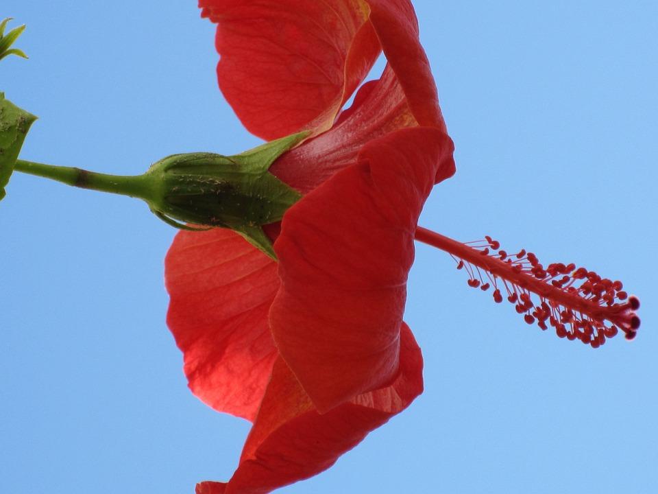 Flower, Tropics, Hybiscus, Morocco