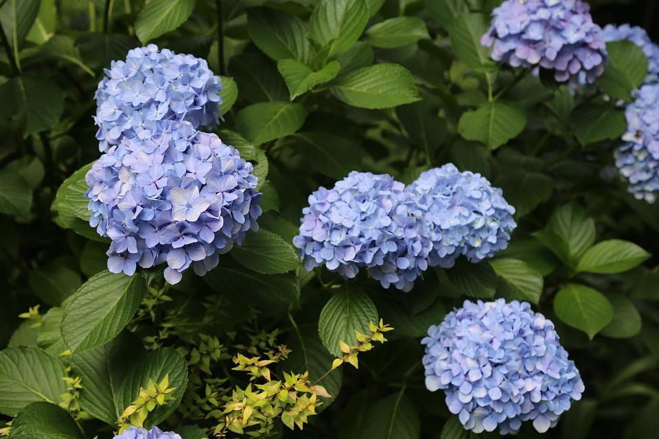 Hydrangea, Flowers And Plants, Flower