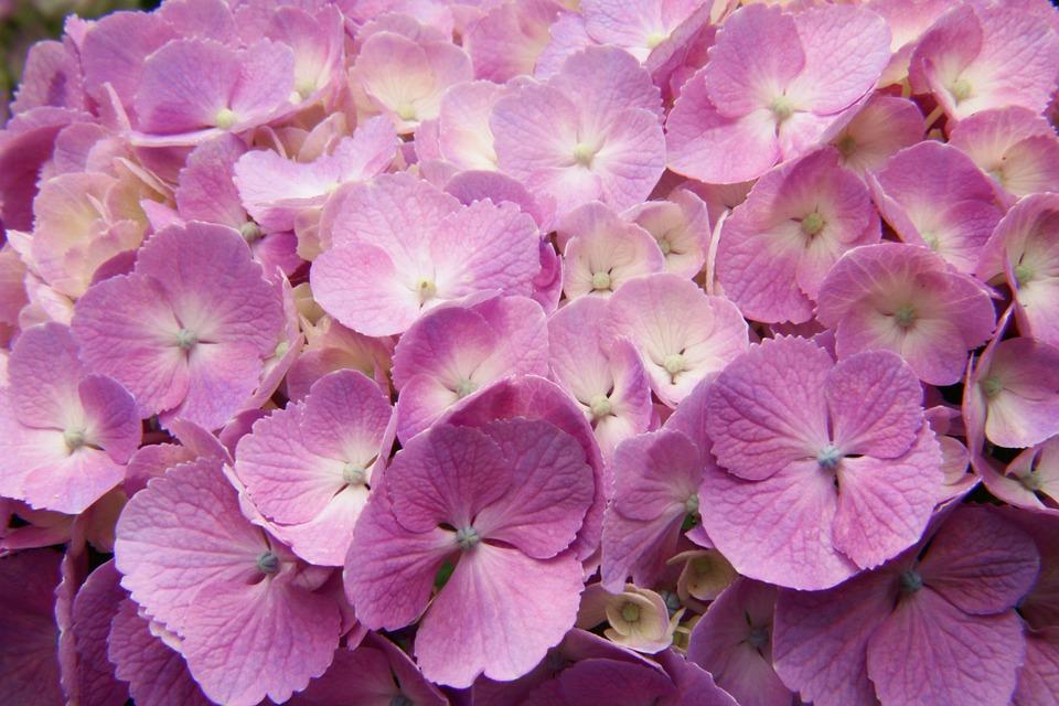 Hydrangea, Flower, Japan, Petal, Purple, Nature, Garden