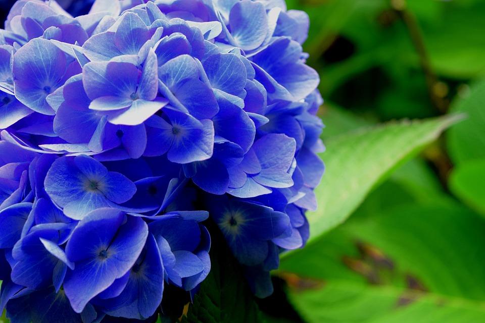 Hydrangea, Flower, Blue, Nature