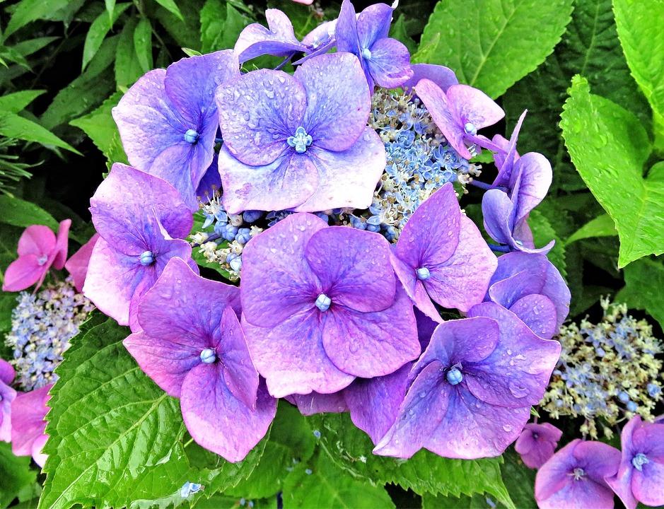 Plant, Flower, Hydrangea, Shrub, Ornamental Plant
