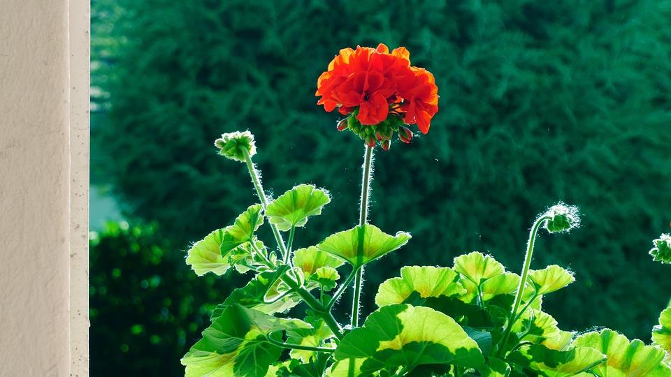Flower, Geranium, In The Morning, Backlight, Red Flower