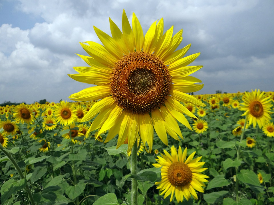 Sunflower, Karnataka, Flower, India, Floral, Plant