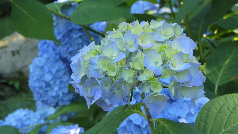 Hydrangea, Flower, Inflorescence, Blue, Close Up