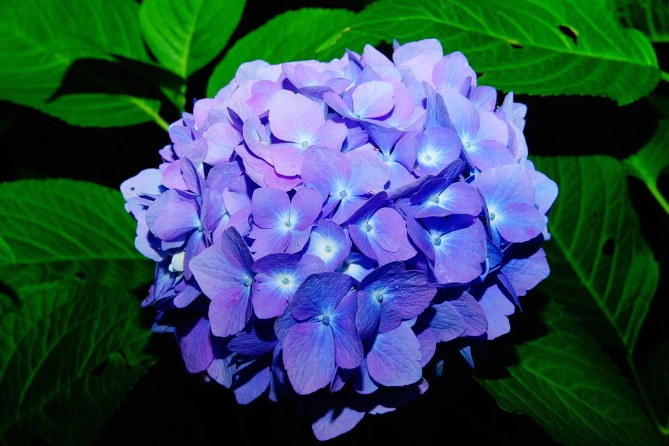 Flowers, Hydrangeas, Flower, Blue, Inflorescence