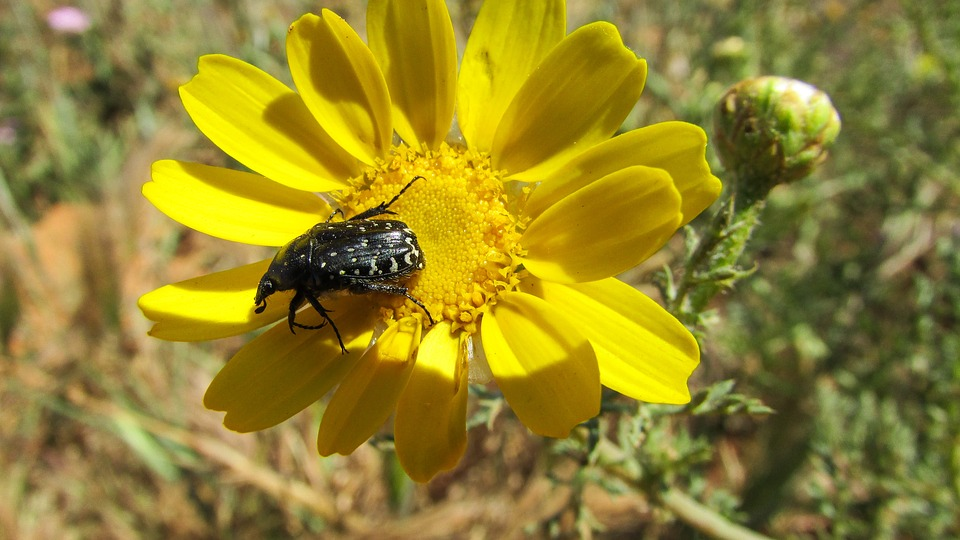 Beetle, Insect, Animal, Nature, Flower, Spring