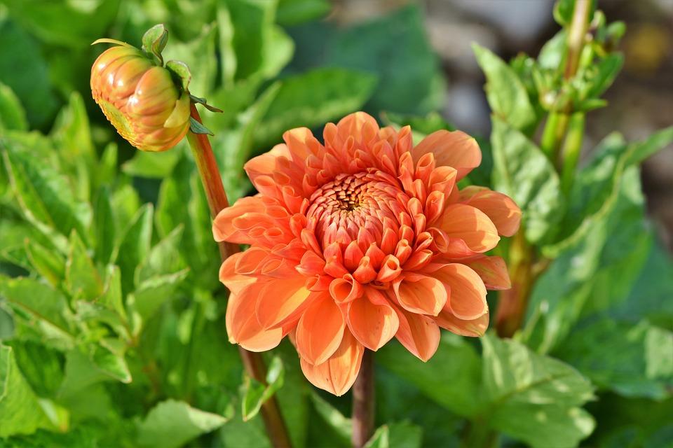 Dahlia, Dahlias Bud, Hover Fly, Insect, Flower, Bud
