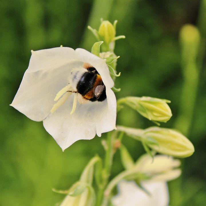 Hummel, Bellflower, Flower, Insect, Nature, Blossom