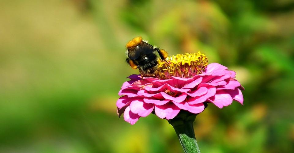 Bumblebee, Insect, Flower, Zinnia, Nature, Pollen